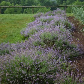 english-lavender-1__31213.1598889869